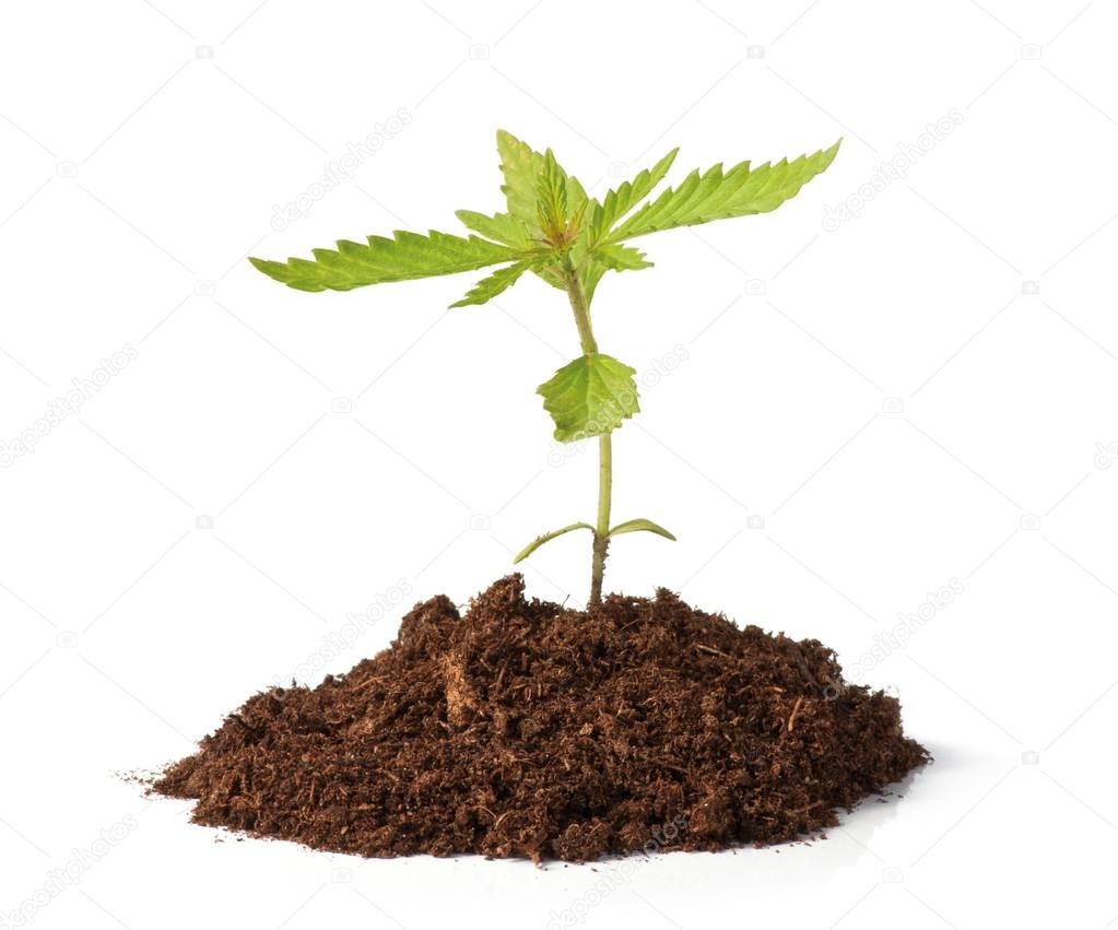 Small hemp sprout growing