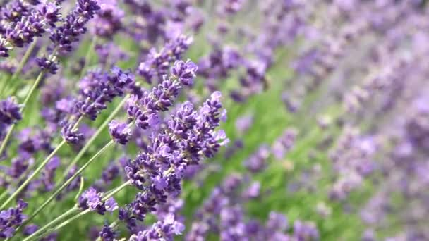 Lavender flowers with bee