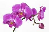 Fotografie orchidej v kapkách Rosy