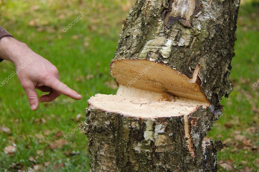 Hazard tree felling