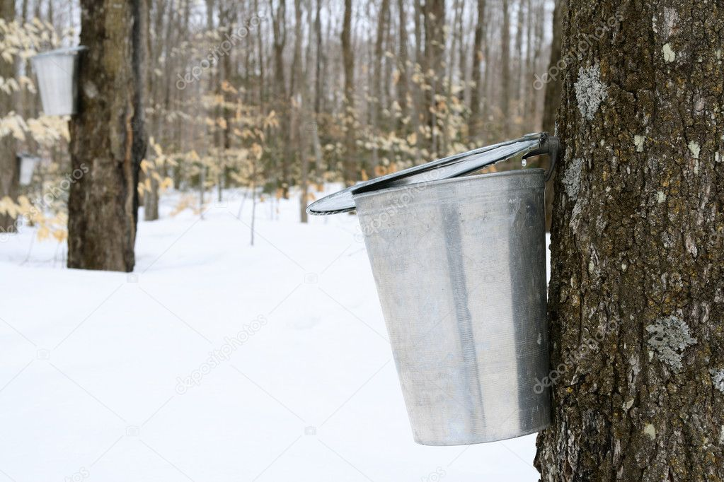Droplet of maple sap falling into a pail