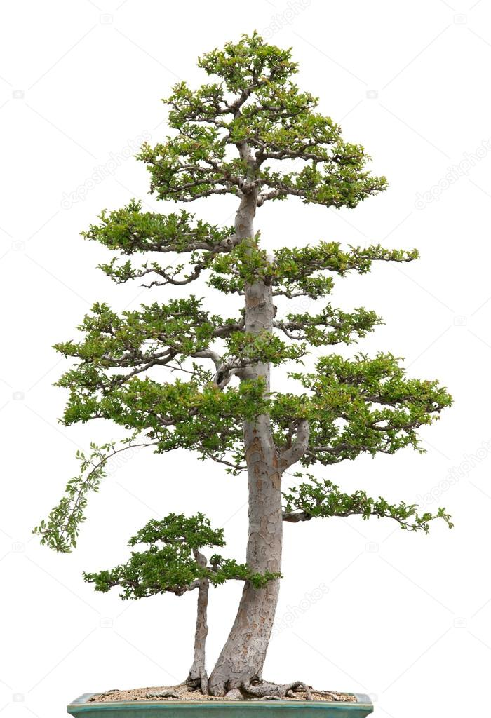 Elegant bonsai elm tree on white background