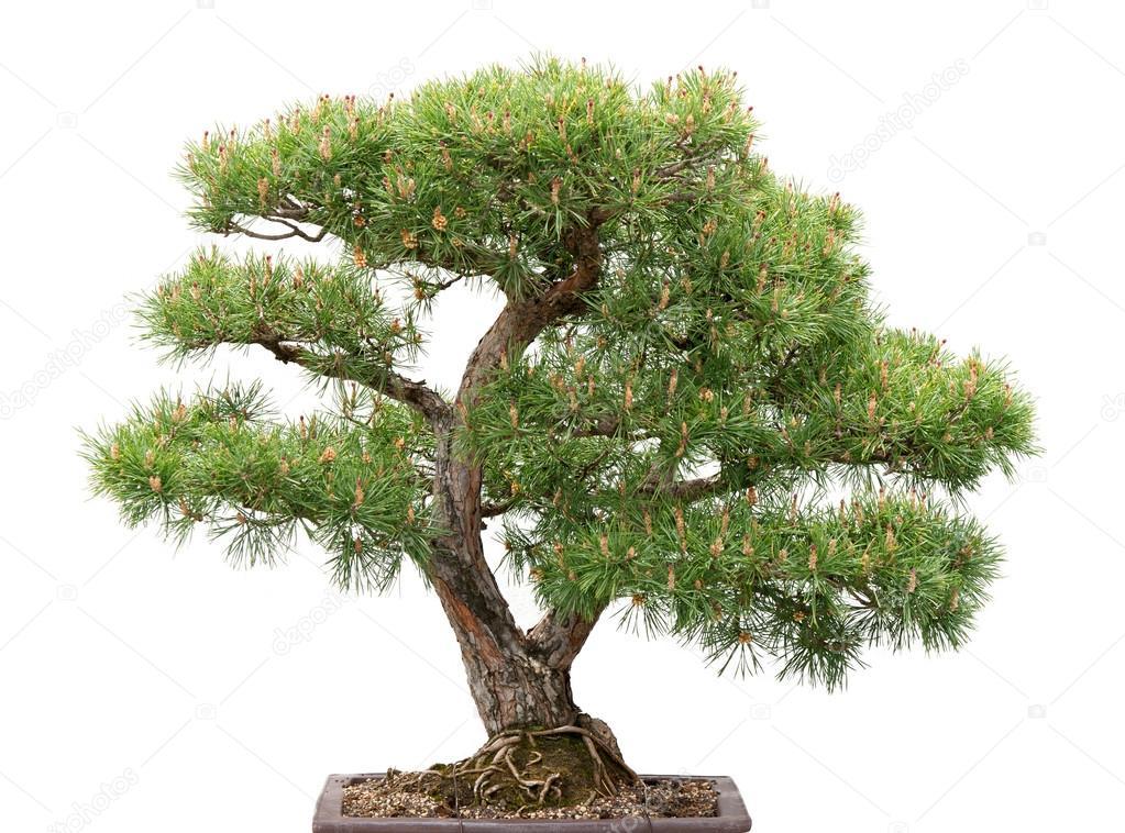 Bonsai, pine tree on white background