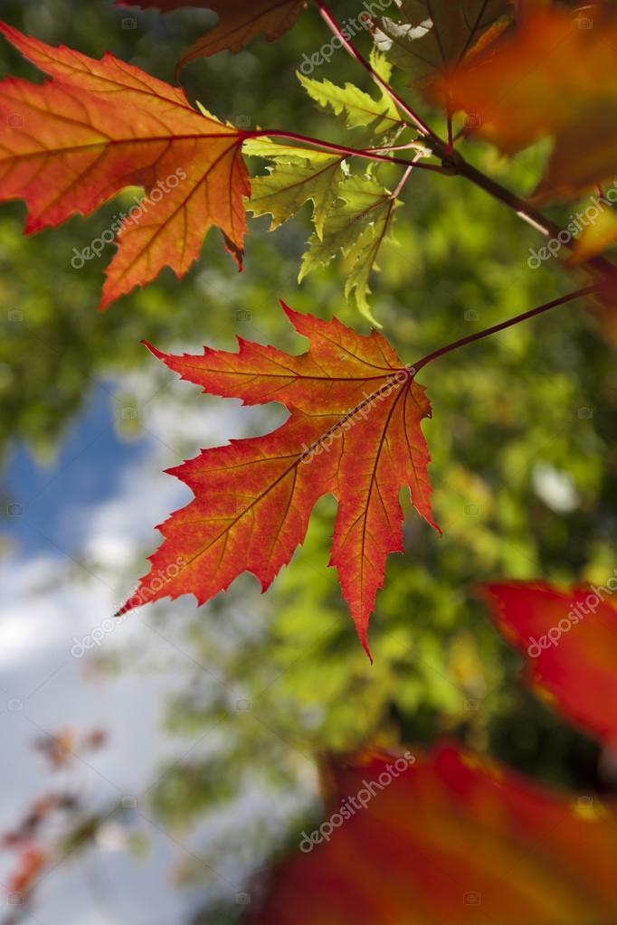 1908c2ab8 Hojas de arce otoño rojo brillante destaca sobre un fondo de cielo y hojas  verdes. enfoque selectivo en la hoja central — Foto de ...