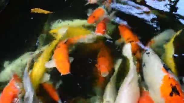 Koi ryby