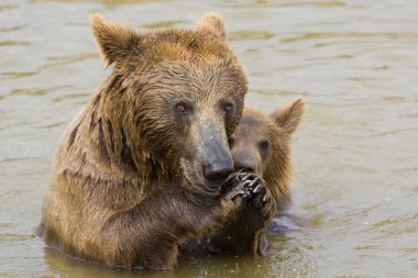 Bear Mother and Her Cub Feeding
