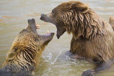 Bears Fighting