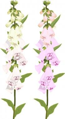 Digitalis flowers