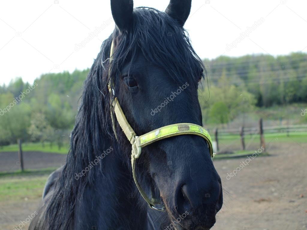 Schwarze Friesen Pferd Stockfoto Hanatipplova 25534289