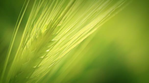 Zelená pšenice spica.