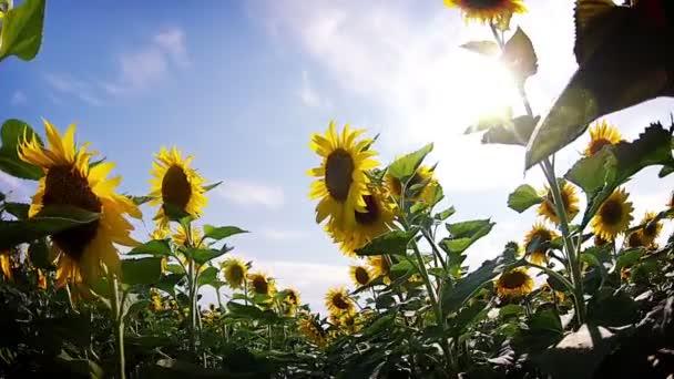 Field of sunflowers. Walk