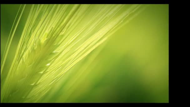 zemědělství. pěstovalo se obilí. sklizeň. HD montage