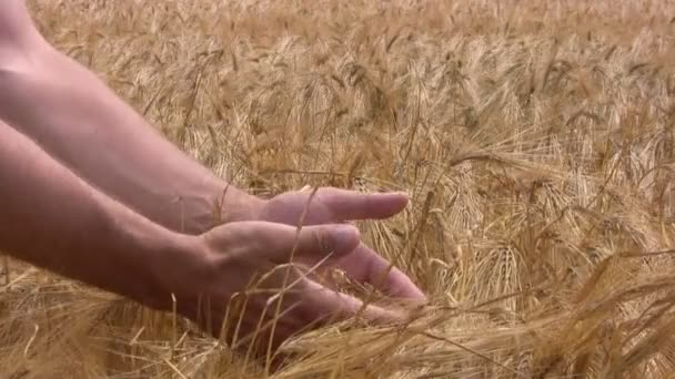 Human hands touching wheat cones