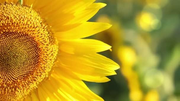 Slunečnice v slunci