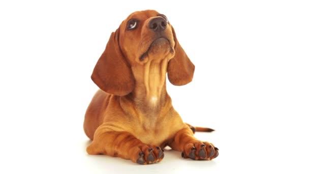 Hund schaut auf