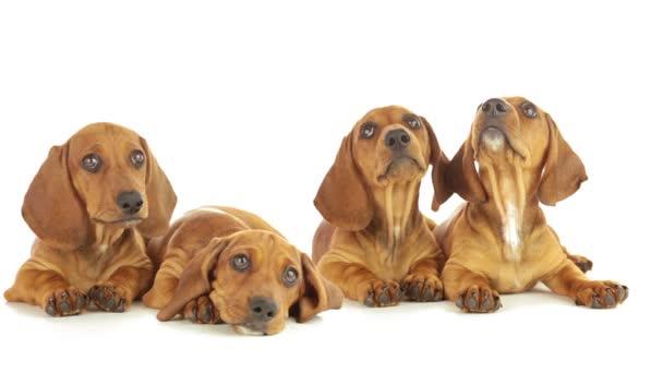 čtyři jezevčík štěně