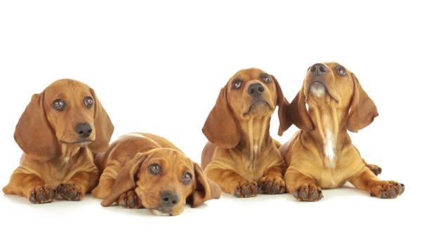 Four dachshund puppy
