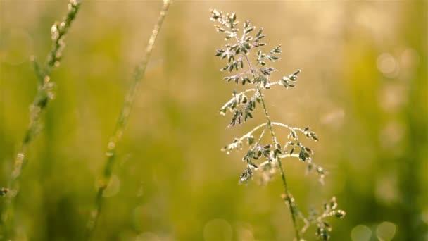 Dew on the Grass. Macro