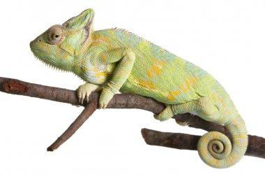 Yemen Chameleon or Veiled Chameleon (Chamaeleo Calyptratus) isolated on white