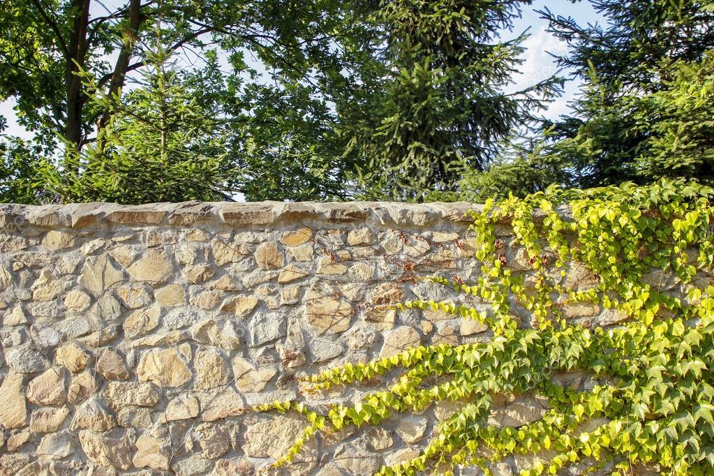 Stenen Muur Tuin : De groene klimop op een zand stenen muur tuin achter de muur