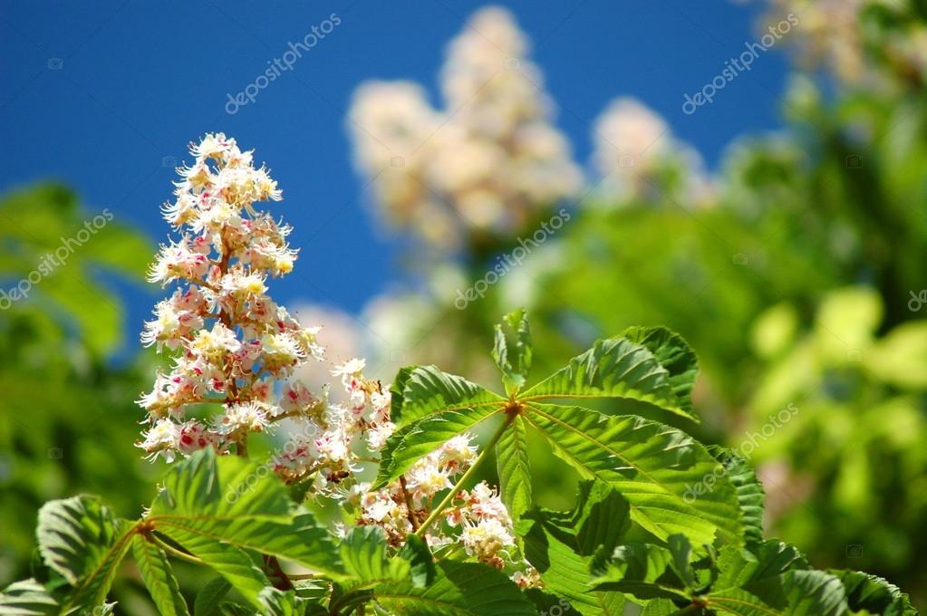 Blooming chestnut tree in springtime