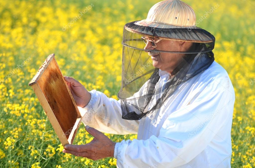 Experienced senior apiarist working in the blooming rapeseed field