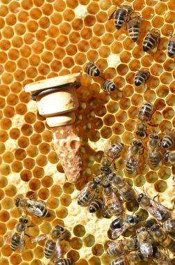 Queen bees cell and plenty of bees on honeycomb