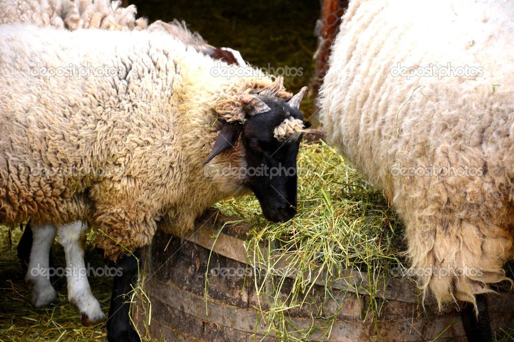 hö till får