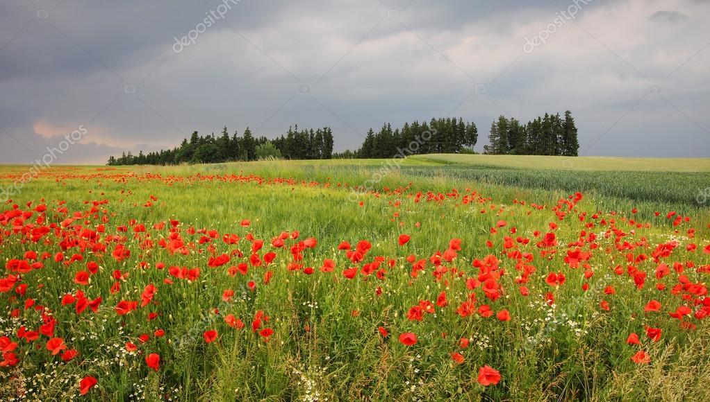 Campo di grano con papaveri rossi nella campagna for Quadri con papaveri rossi