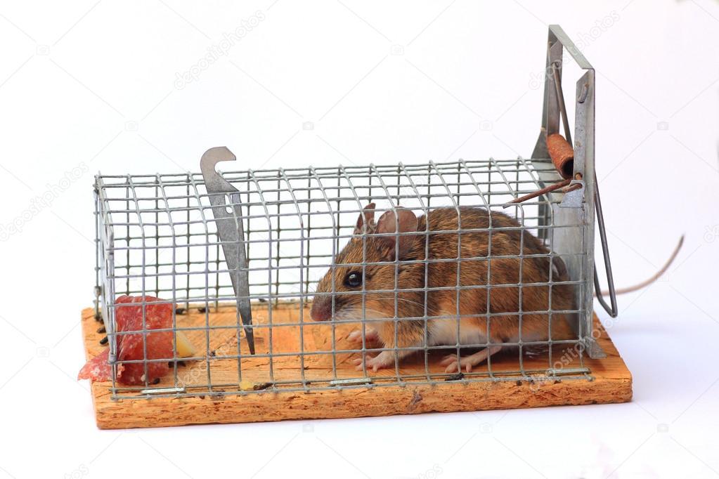 Rat n capturado en una trampa para ratones foto de stock - Trampas para ratones vivos ...