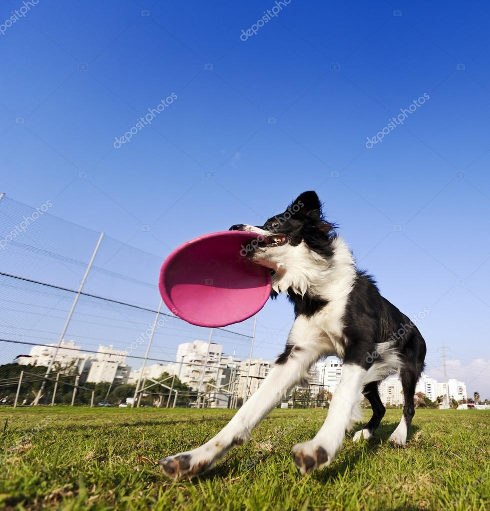 Border Collie Catching Dog Frisby Toy at Park