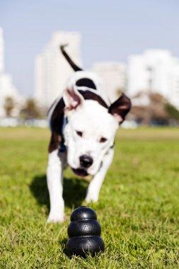 Pitbull Running to Dog Toy on Park Grass