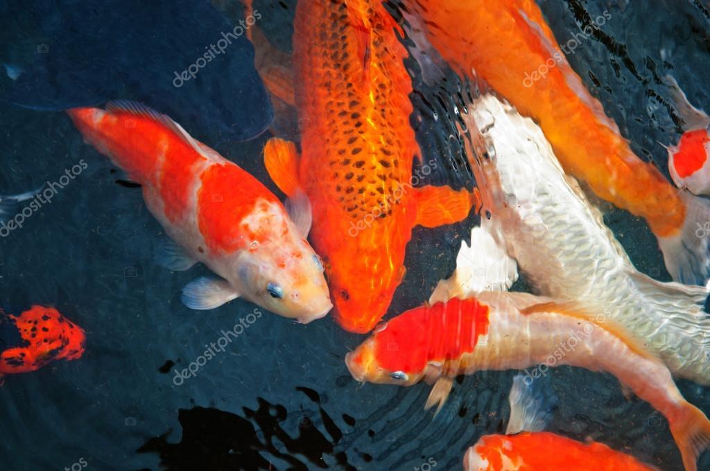 Barevn koi kapr nsk ryby nebo ve vod stock for Carpe koi tarif