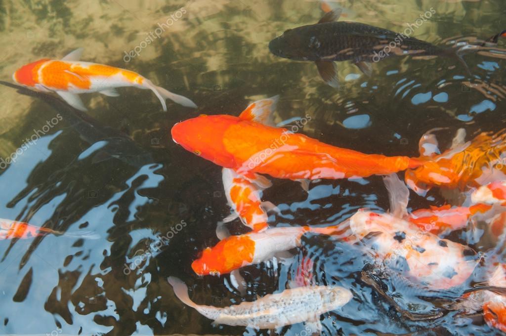 Koi lub karp chi ski ryba w wodzie zdj cie stockowe for Carpa de rio