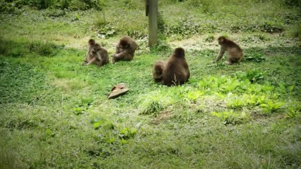 Japán makákó család