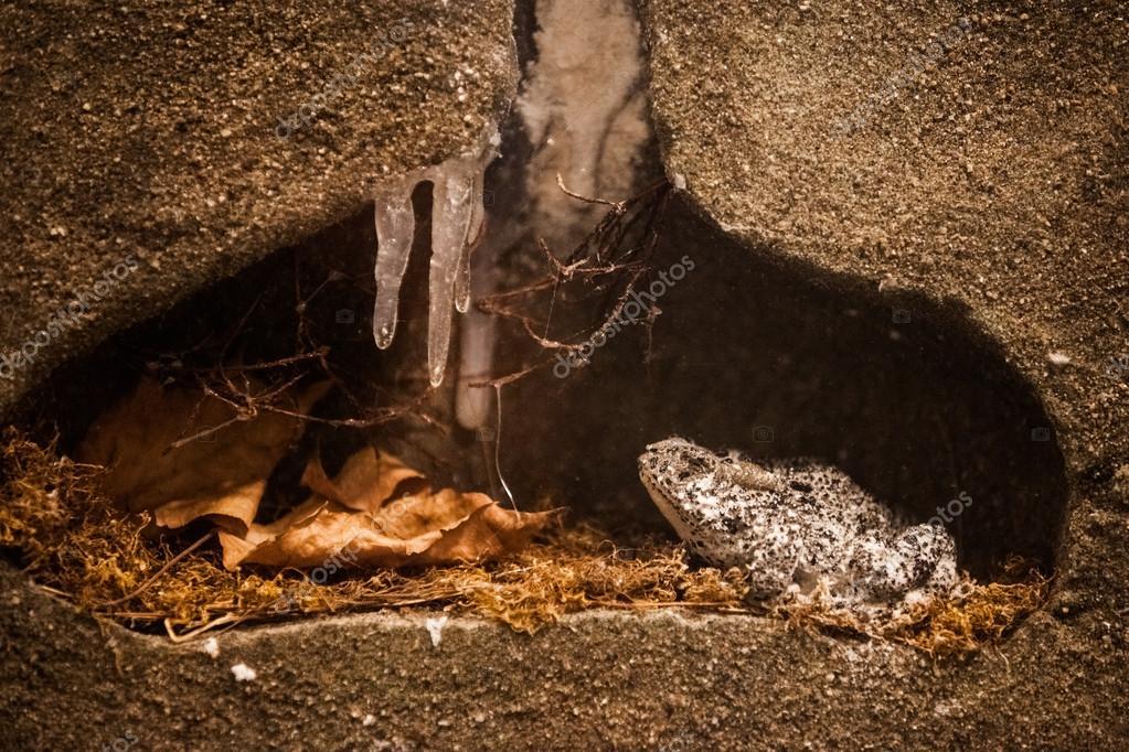 Super Winterschlaf. gefrorenen Frosch in ihrem Winter-Lebensraum @TM_84