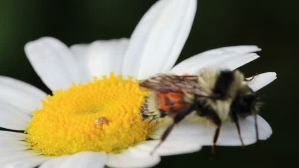 Macro Video of a Bee on a Daisy Flower