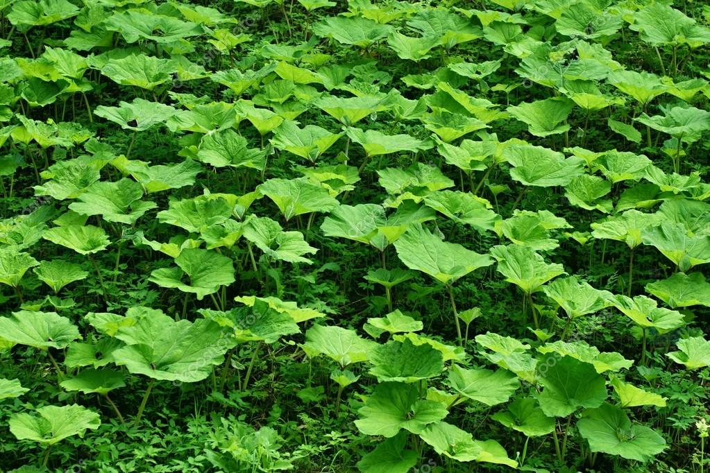 Glade from burdock plants for a background