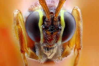 Ophion luteus extreme close-up