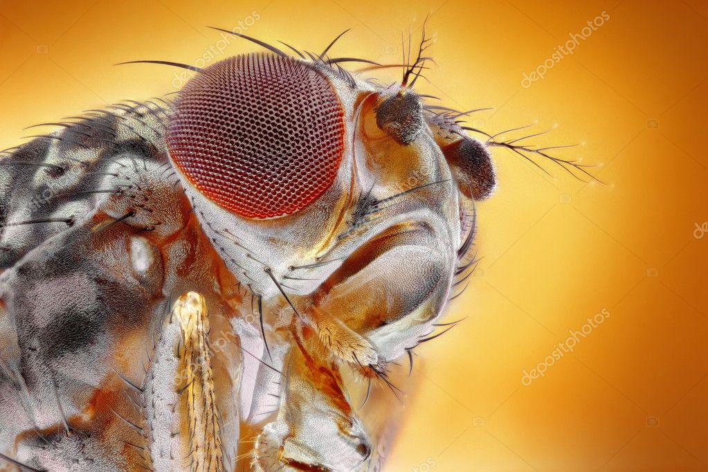 macro de la mosca de la fruta — Foto de stock © Tomatito #25747659