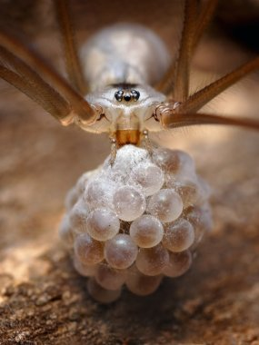 Spider is taking care of its eggs.