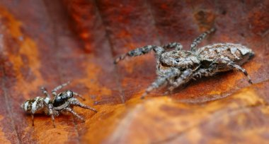 David and Goliath (different sized jumping spiders fighting)