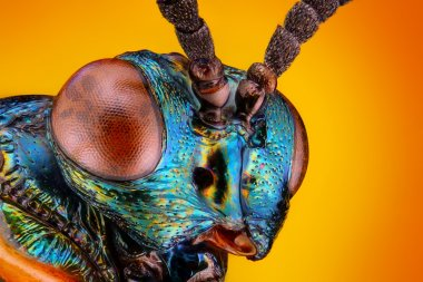 Extreme sharp and detailed view of unknown small metallic wasp head taken with microscope objective stacked from many shots into one very sharp photo (The wasp has 4mm body-size)