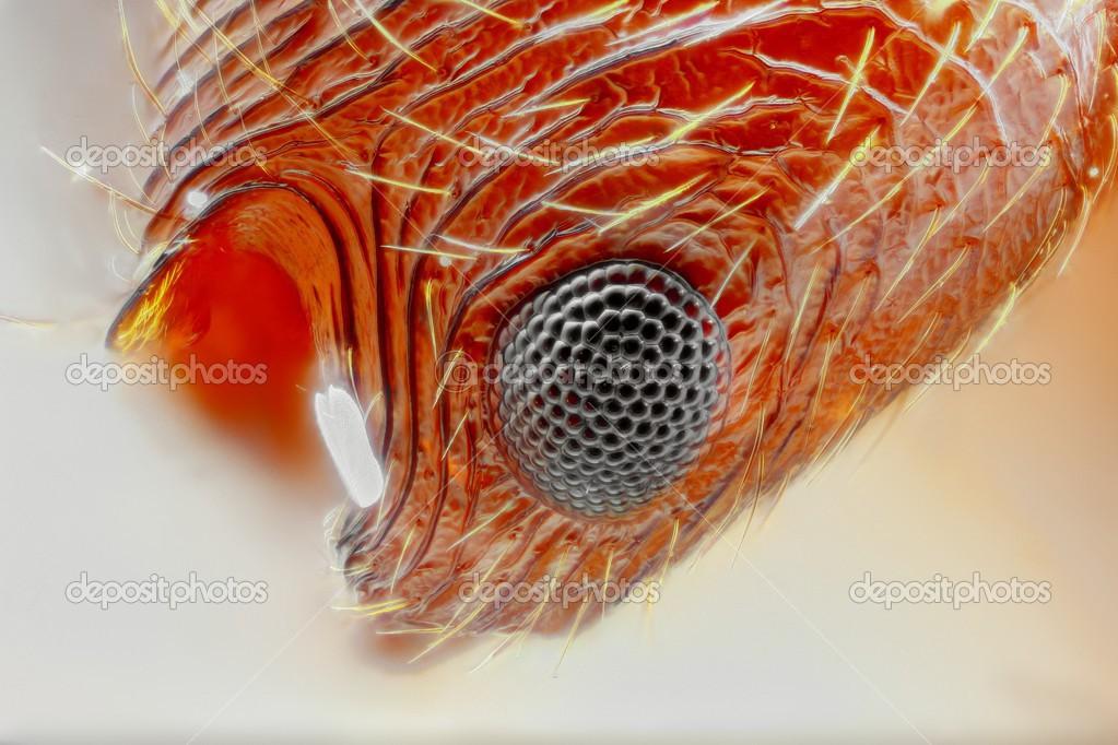 Extrema Agudo Y Detallado Estudio Del Ojo De Hormiga Myrmica Tomada
