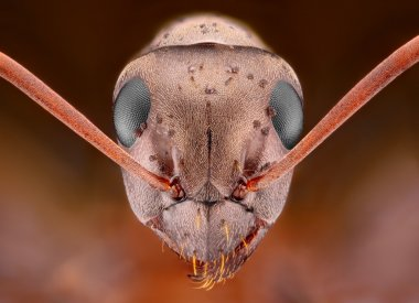 Ant head with some sort of pimples