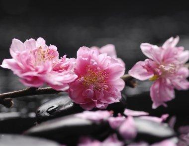 Branch Cherry Blossom
