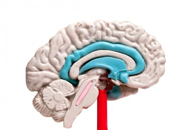 closeup of a human brain model on white background