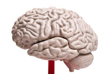 closeup to human brain anatomy