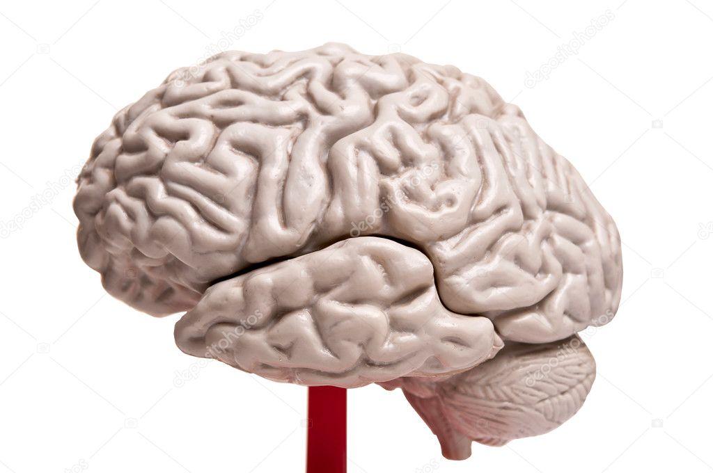 Closeup auf menschliche Gehirn Anatomie — Stockfoto © axentevlad ...