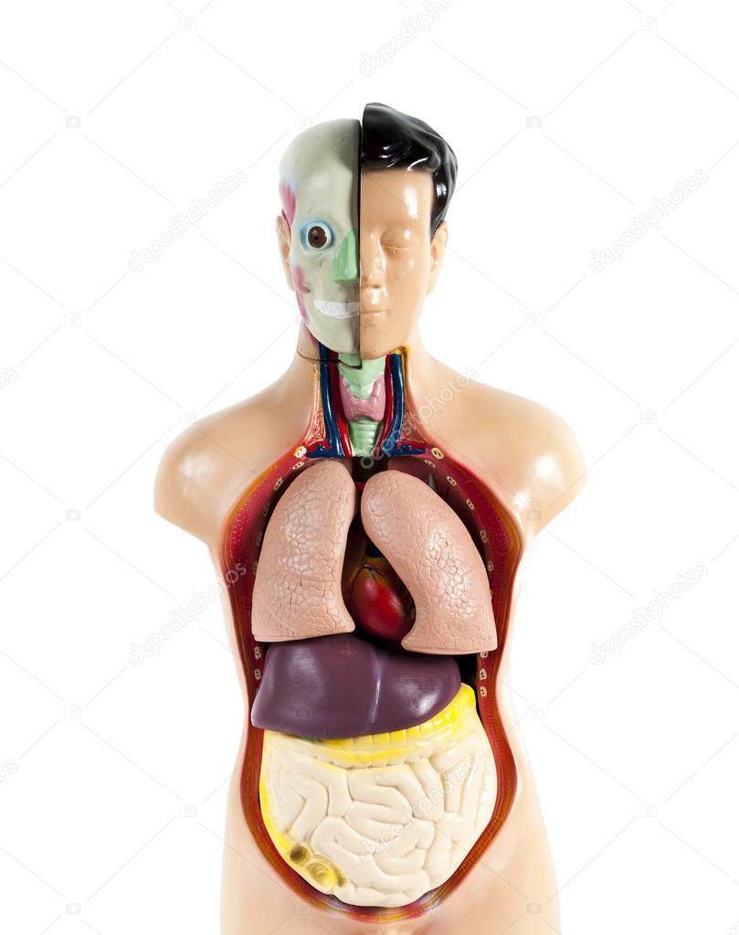 Human Anatomy Mannequin Isolated On White Background Stock Photo